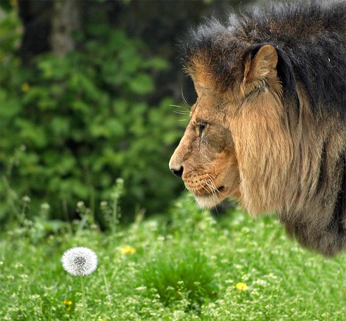 Приколы львы картинки с надписями