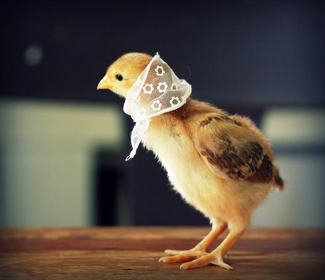 Утро картинки, цыплята смешные картинки