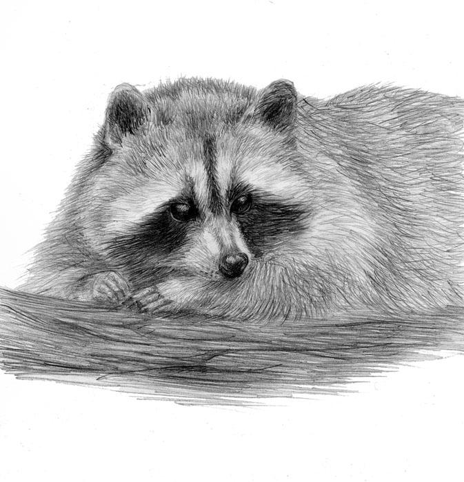 Рисунки енотов для срисовки легкие и красивые