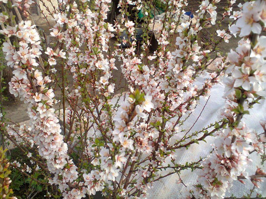 Красивые фото картинки девушек брюнеток возле цветущей яблони вишни