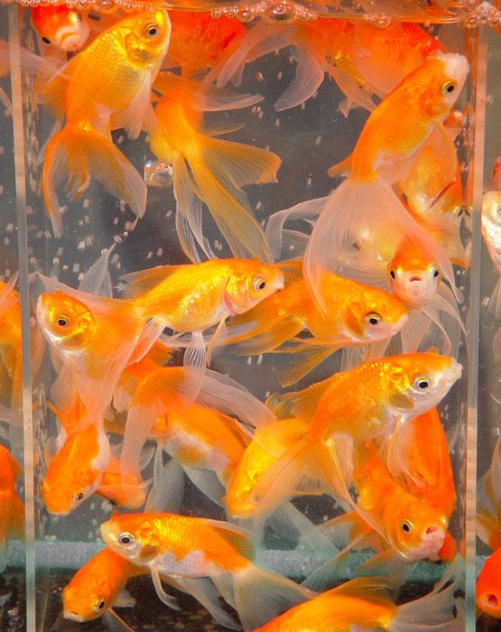 Золотые рыбки на открытках