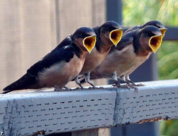 Для, пение птицы смешное