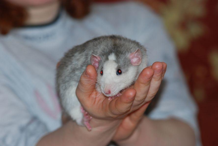 обновлению картинки крыс хаски при сооружении изгороди
